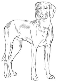 Stehenden Hund zeichnen - Schritt 3