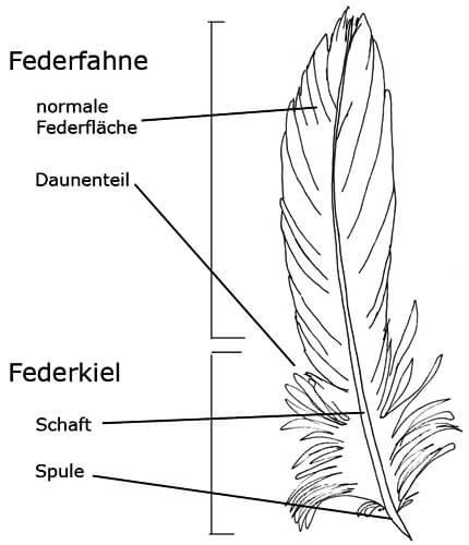 Aufbau einer Vogelfeder