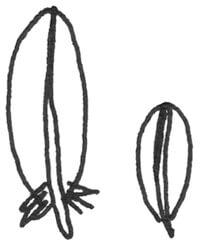 Federart: Armschwingen Deckfedern
