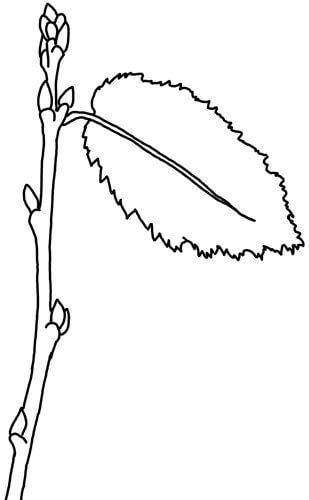 Baumsprössling Skizze