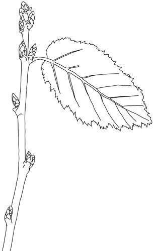 Baumsprössling Zeichnung