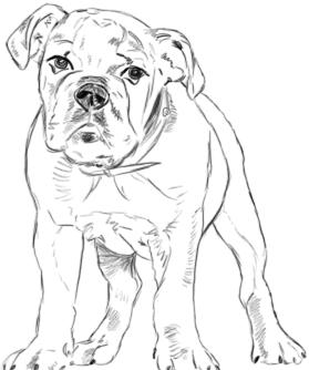 Bulldogge zeichnen - Schritt 3