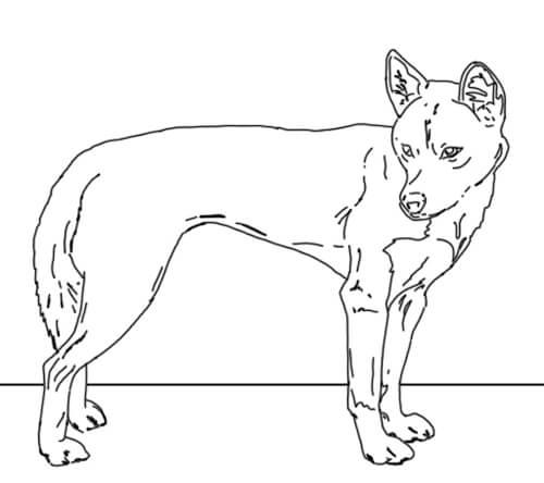 Dingo stehend Zeichnung