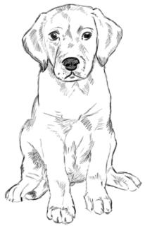 Golden Retriever Welpe zeichnen - Schritt 3