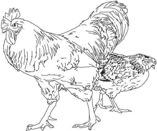 Vögel zeichnen: Hahn und Henne Zeichnung
