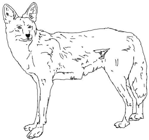 Kojote Zeichnung