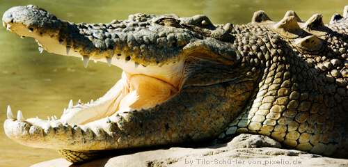 Krokodil als Vorbild für einen Drachen