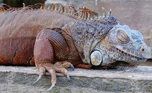 Leguan als Vorbild für einen Drachen