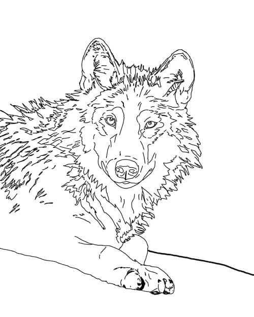 Liegender Wolf Zeichnung
