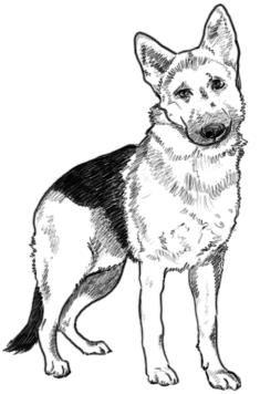 Schäferhund zeichnen - Schritt 2