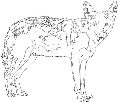 Schakal Zeichnung