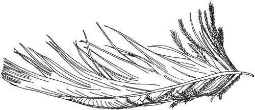 Skizze einer Daunenfeder
