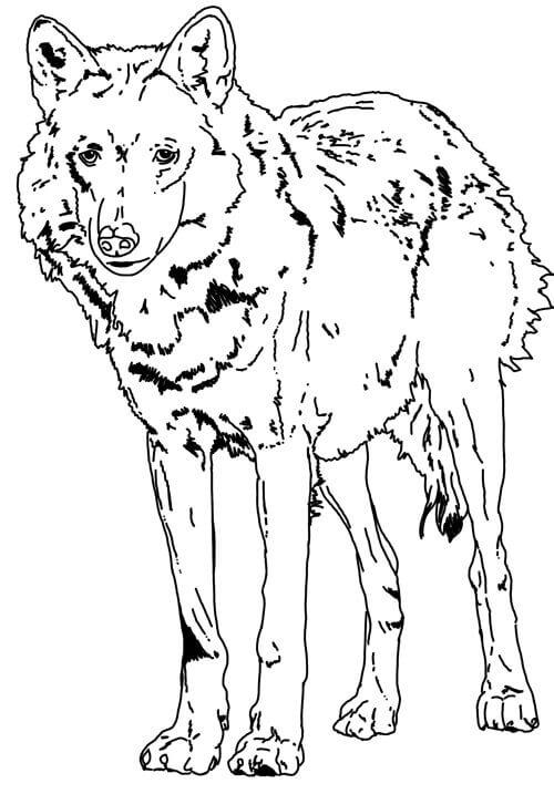Stehender Wolf Zeichnung