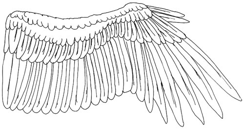 Ausgestreckter Vogelflügel Innenseite - Eingezeichnete Federn