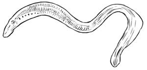 Aal zeichnen Zeichnung