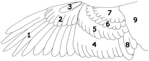 Aufbau eines Vogelflügels