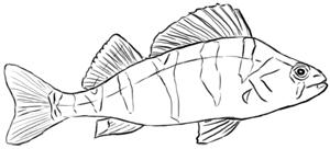 Fische und Haie: Barsch Zeichnung