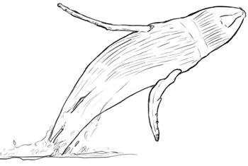 Delfine und Wale: Springender Buckelwal (Bauchansicht) Zeichnung