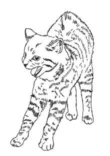 Fauchende Katze - Zeichnung