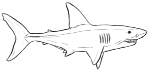 Fische und Haie: Haifisch von der Seite zeichnen - Zeichnung