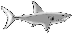 Haifisch von der Seite zeichnen - Kolorierung