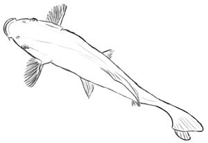 Fische und Haie: Koikarpfen Zeichnung