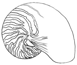 Meerestiere: Nautilus Zeichnung