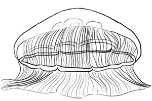 Meerestiere: Qualle Zeichnung