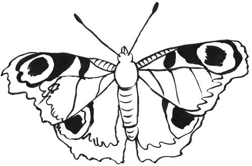 Schmetterling von oben gezeichnet