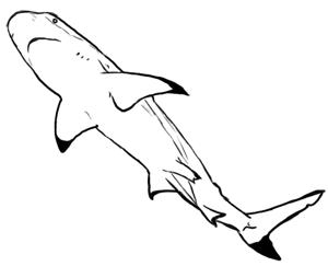 Schwarzspitzen Riffhai Zeichnung