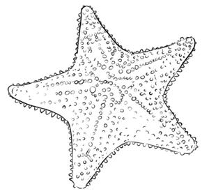 Dicker Seestern Zeichnung