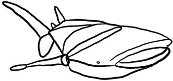 Walhai Grundformen