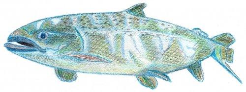 Lachs - Kolorierung mit Aquarellbuntstift
